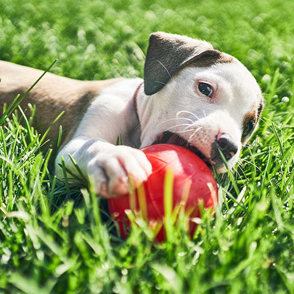 Small puppy chews on red ball in grass.