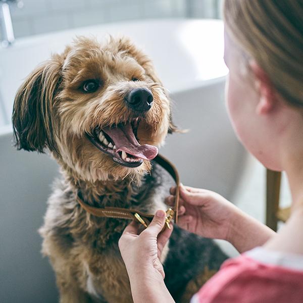 Woman puts a brown collar on dog near bathtub.