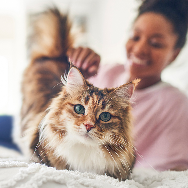 Close-up on long-haired cat on bed, with woman in pink sweater blurred in background